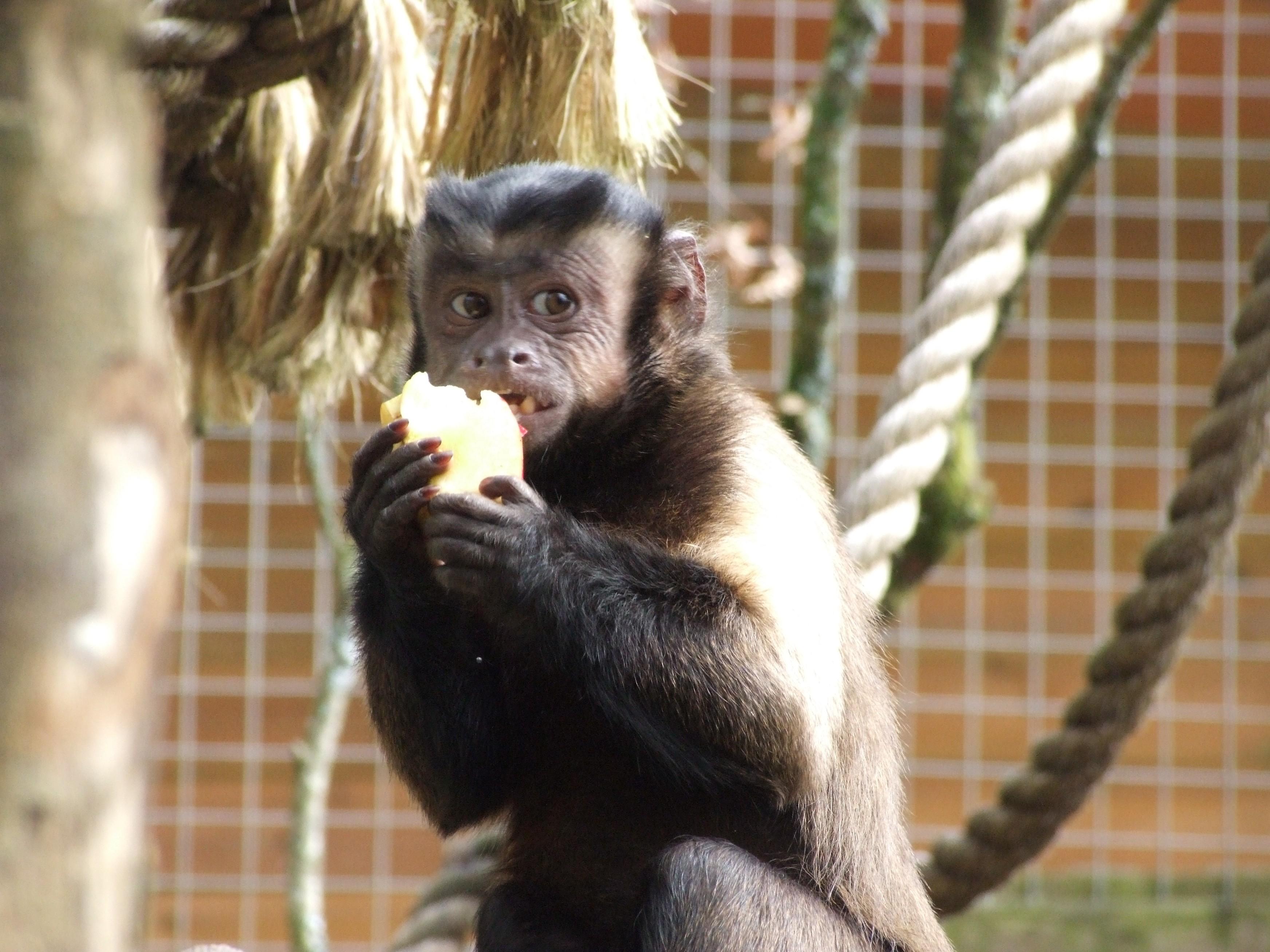 boo_eats_apple_capuchin
