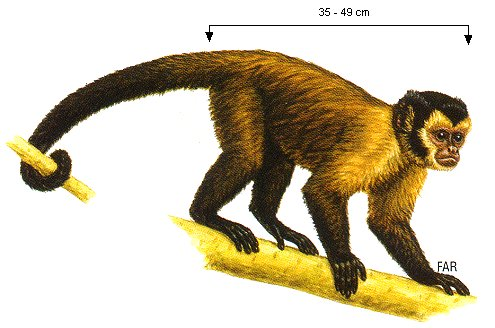 capucijn